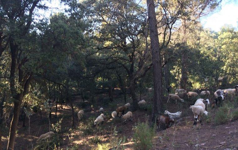Ramat d'ovelles pasturant pels boscos de Matadepera  | ADF Matadepera